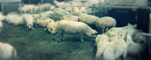cerdo-comercial