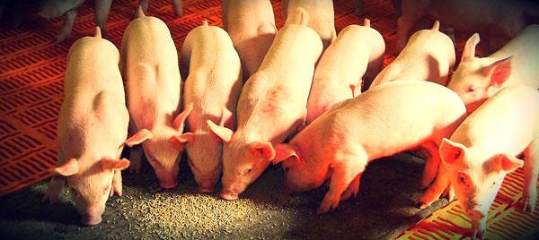 cerdos-comiendo-forrajes