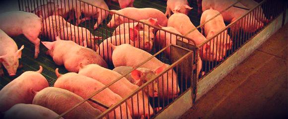 cerdos-en-desarrollo-forrajes