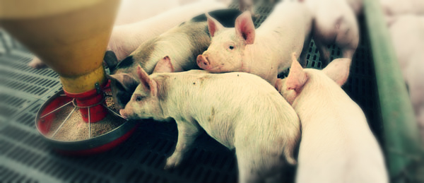 cerdos-forrajes-1