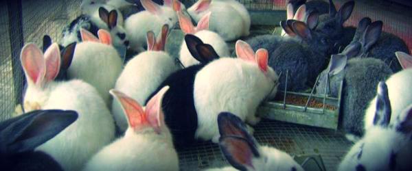 conejo-de-engorda-forrajes
