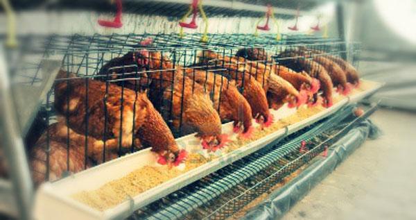 desarrollo-de-pollas-forrajes