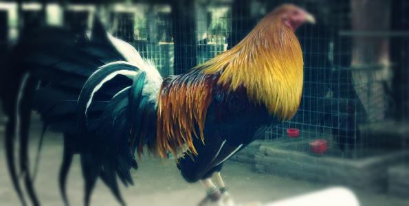 gallo-plus